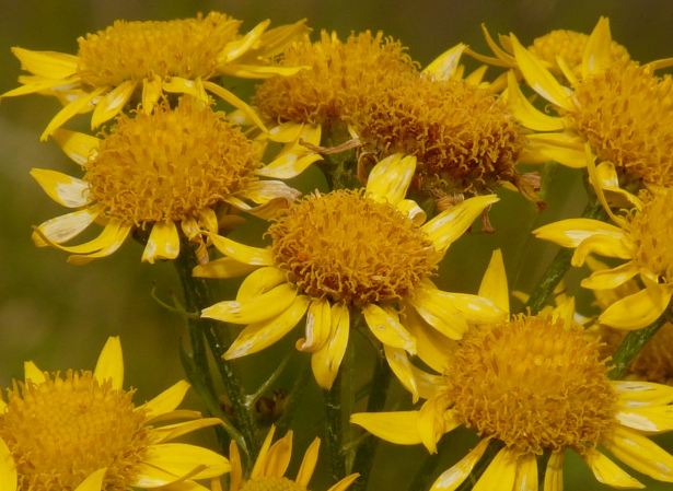 Цветы Аники