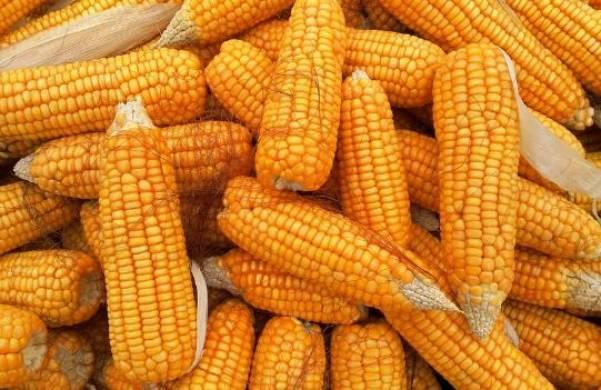 Kukuruza i belok
