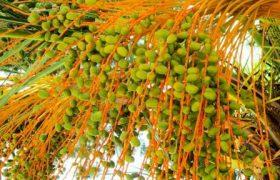 Желтые пальмовые финики