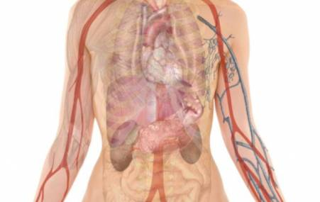 Женский организм с органами